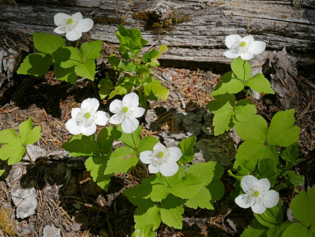 Lovely Columbia windflower in the forest on the trail down to Quaking Aspen Swamp.
