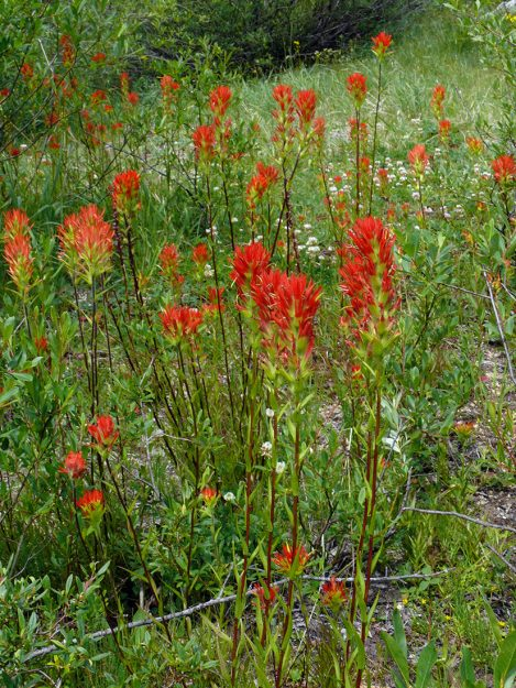 Suksdorf's paintbrush (Castilleja suksdorfii) was still quite eyecatching.