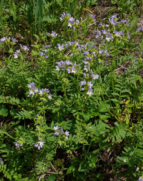 California Jacob's ladder (Polemonium californicum) is usually found at higher elevations and nearer the crest of the Cascades.