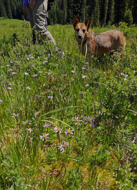 "Ruby ""dogging"" her mom's heels. In front are alpine aster, notable for their solitary flower heads."