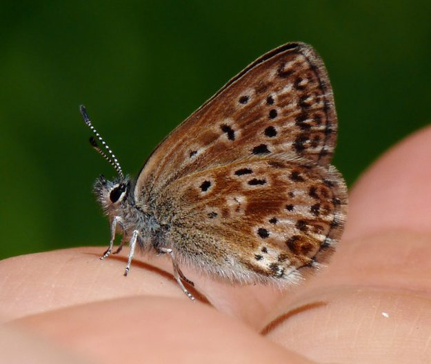 female Sierra Nevada blue