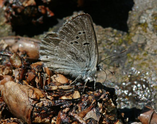 A rather dingy blue (female Boisduval's perhaps?) enjoyed the delicacy of crayfish-filled scat. Mmmm!