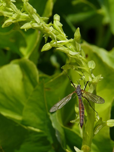 A cranefly resting on the inflorescence of sparse-flowered bog orchid (Platanthera sparsiflora)