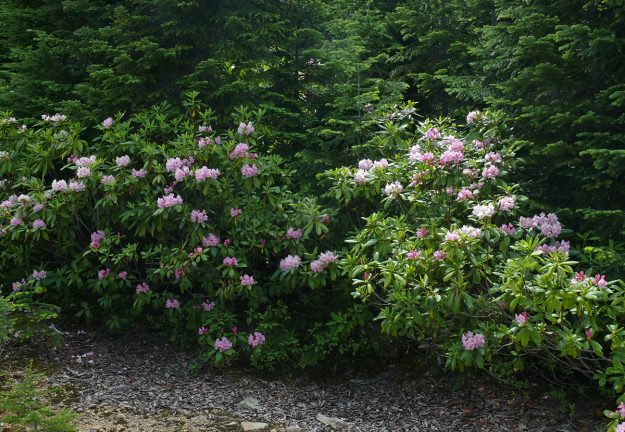How surprising to see rhodies blooming so late in the season.