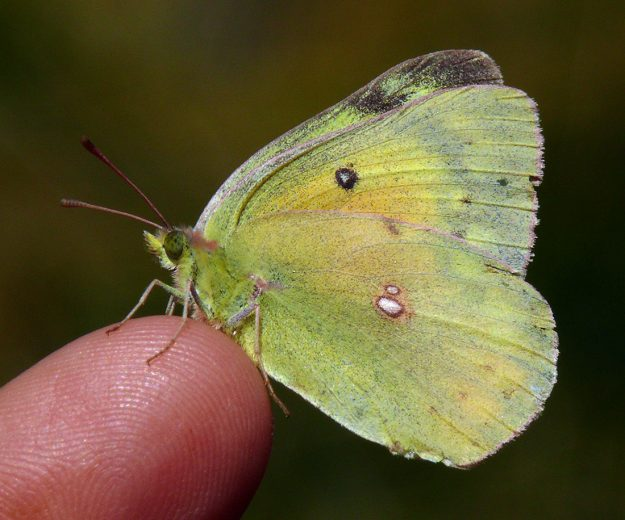 Orange sulphurs are usually hard to photograph for me because they rarely sit still. This one must have been cold still and didn't mind sitting on my finger for a photo.