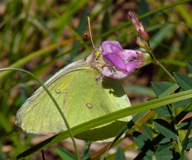This pretty sulphur was very pale on top and doesn't have any dots on the edges of its wings, making it a western sulphur perhaps. It was darting about nectaring on vetch blossoms (Vicia americana).