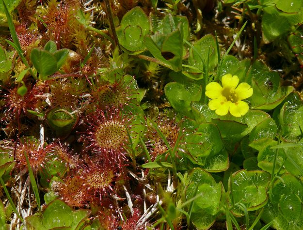 In the wetland east of Loletta Lakes, there are patches of low-growing round-leaved sundew (Drosera rotundifolia) and primrose monkeyflower (Mimulus [Erythranthe] primuloides).