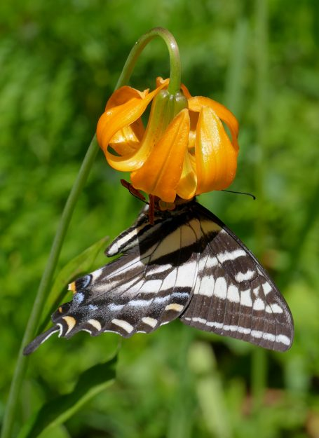 TIger lilies (Lilium columbianum) are favorites of pale swallowtails.