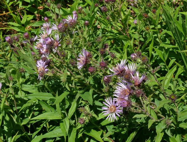 Great northern aster is a late-blooming flower that prefers a wetter habitat than most of our other asters. It's recognized by the abundance of anthocyanins (purple coloration) in the stems and involucres.
