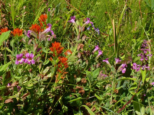 Brightly colored Suksdorf's paintbrush and pink monkeyflower