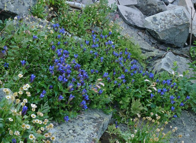 A superb display of explorers gentian at the base of the cliff above Bradley Lake.
