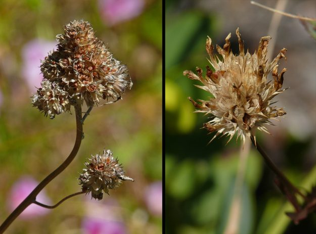 Left) The beautiful bluefield gilia is easy to collect. A quick tip and loads of little brown seeds fall out of the small capsules when ripe. Right) Tomcat clover (Trifolium willdenovii) also has clusters of seed capsules with seeds that fall out. Unfortunately, when the heads are dry, they are quite sharp and hard to handle.