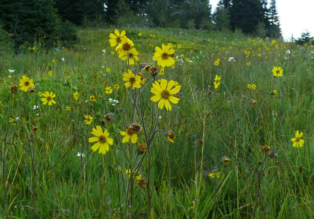 At 7pm, with the sun gone from the wet meadow at Grassy Ranch, the Bolander's tarweed was fully open again.