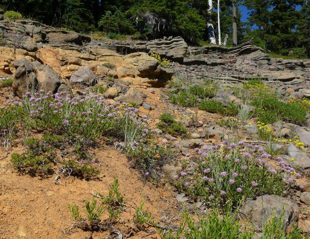 Coyote mint (Monardella odoratissima) against the golden soil