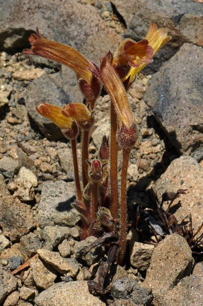 Clustered broomrape (Orobanche fasciculata) was popping up frequently. This particular plant had a reddish blush over the usual pale yellow flowers.