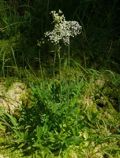 Western oxypolis is a fairly rare plant that has only been found south of the McKenzie Highway.