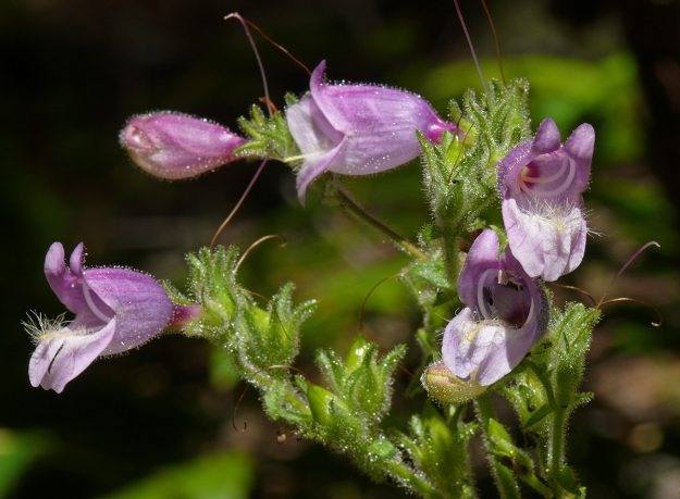Rattan's penstemon has a distinctive long and hairy staminode.