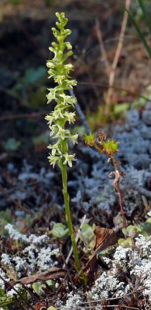 flat-spurred piperia can be distinguished by its mainly white flowers with its long spurs that are perpendicular to its stem.