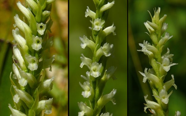 Hooded ladies tresses
