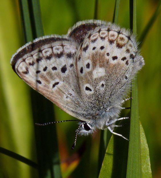 A healthy looking female Sierra Nevada blue at Bradley Lake