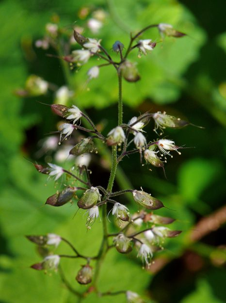 One common name for Tiarella trifoliata is single scoop, referring to the scoop-like seed capsule. A quick scrape with a fingernail yields several shiny black seeds.