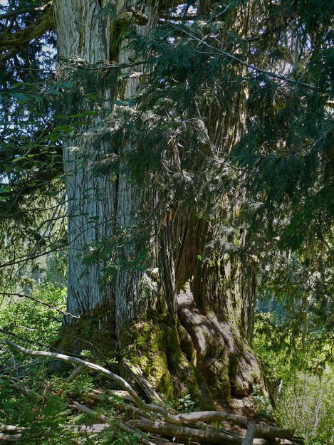 Alaska cedar (Callitropsis nootkatensis)