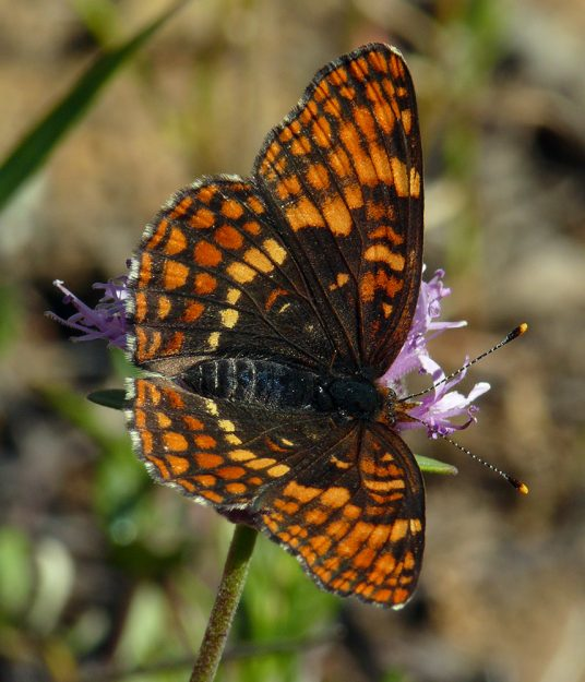 Hoffman's checkerspots seemed to be flying everywhere. This one is nectaring on coyote mint.