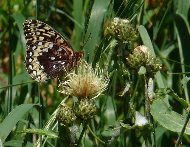 We saw this gorgeous female great spangled fritillary in almost the same spot in Aspen Meadow as last year, and also drinking from mountain thistle (Cirsium remotifolium).