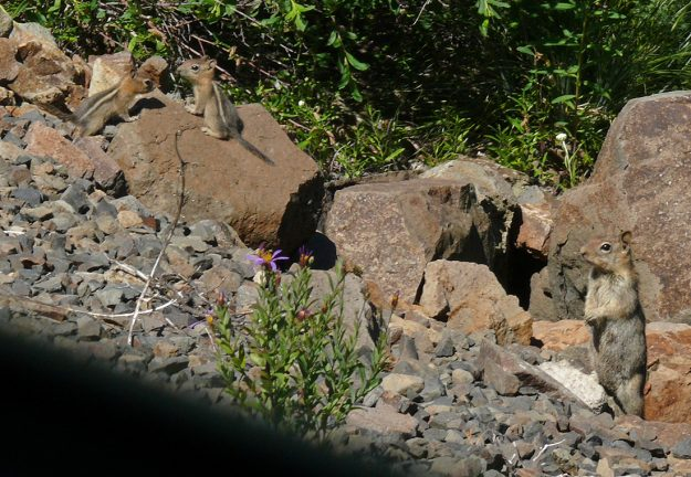 This adorable family of golden-mantled ground squirrels didn't seem too scared of us driving by. Mom kept an eye on us, however.