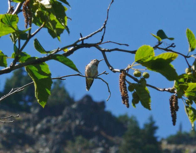 A rufous hummingbird hanging out in a Sitka alder (Alnus viridis). There were a number of them dashing around the deep pink Cooley's hedge-nettle (Stachys cooleyae), a perennial favorite of theirs in late summer wetlands.