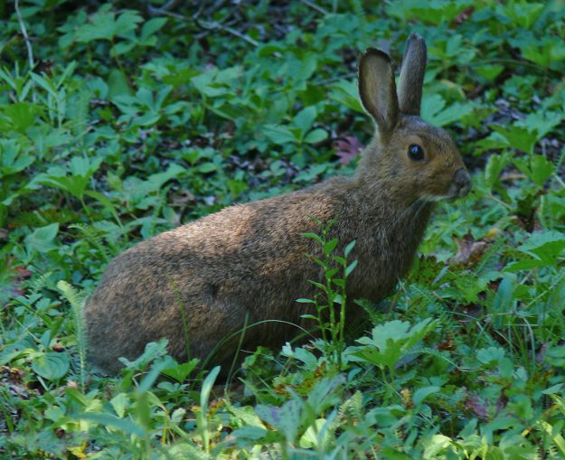 We saw this cute rabbit on our way back to the road. We saw another— actually probably a snowshoe hare—when we stopped for a dinner break at Fish Lake on the way home.