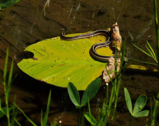 A garter snake rests on a pondlily leaf in a pool of water in the Hidden Lake Bog.