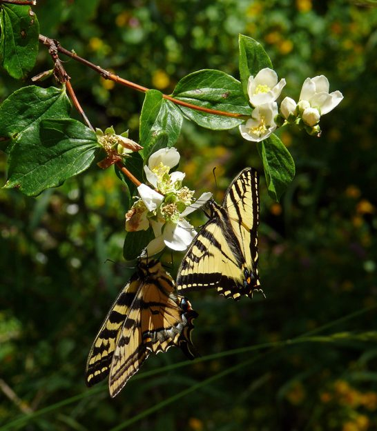courting pair of western tiger swallowtails on mock-orange
