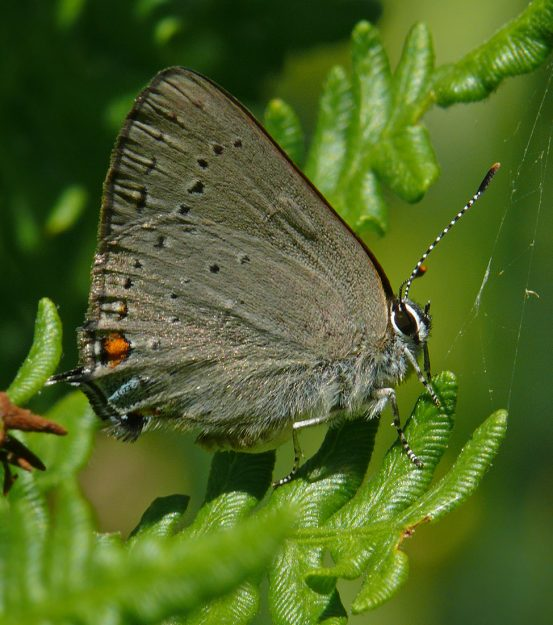 This sylvan hairstreak was flying about at the edge of the wet area at Aspen Meadow. I don't see them too often, but it is always in wetlands near their host food plants, willows.